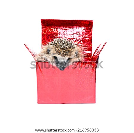 Little Hedgehog, getting out of a gift box - stock photo