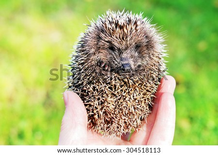 Little hedgehog in a hand - stock photo