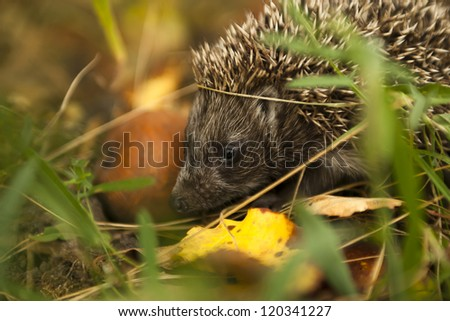Little hedgehog in the forest. Check my portfolio for more beautiful nature photographs. - stock photo