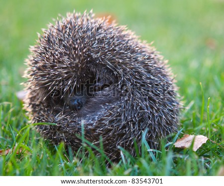 little hedgehog in the grass, autumn - stock photo