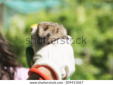 little hedgehog in the hands of gardening gloves palm of your hand spring summer vacation - stock photo