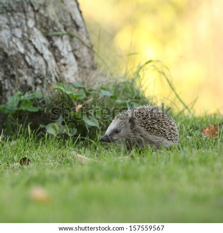 Little hedgehog looking at you in the garden - stock photo