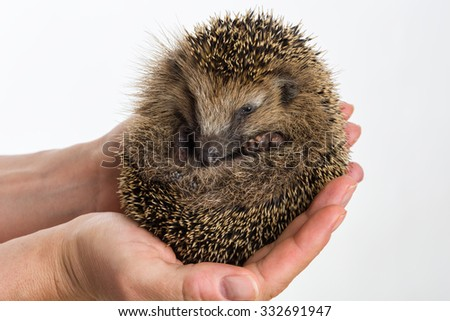 Little Hedgehog protected sitting in two hands, isolated on white - stock photo