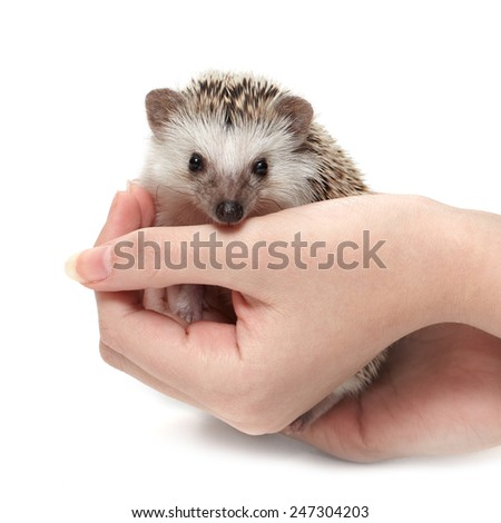Little hedgehog sits at woman's palms - stock photo