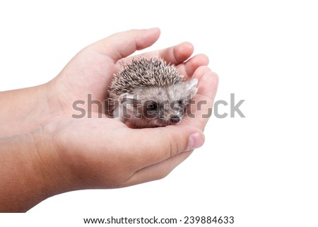 Little hedgehog sits in hands isolated on white background - stock photo