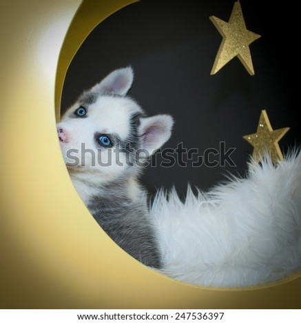 Little Husky puppy that looks like he is playing peek a boo sitting in a moon with stars in the background. - stock photo