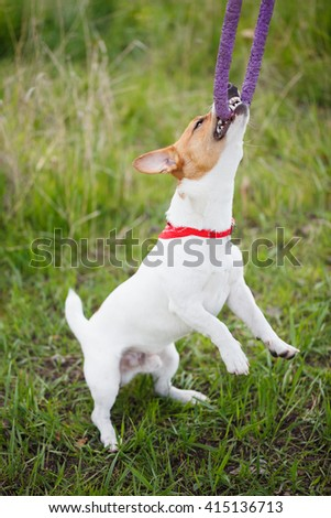Little Jack Russell puppy playing with puller toy in teeth. Location is green park outdoors. Cute small domestic dog, good friend for a family and kids. Friendly and playful canine breed - stock photo