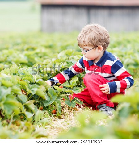 Little kid boy in glasses picking and eating strawberries on organic pick a berry farm in summer, on warm day. - stock photo