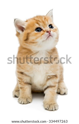 Little kitten breed British, the red marble coloring. The age of one month. Isolated on white - stock photo