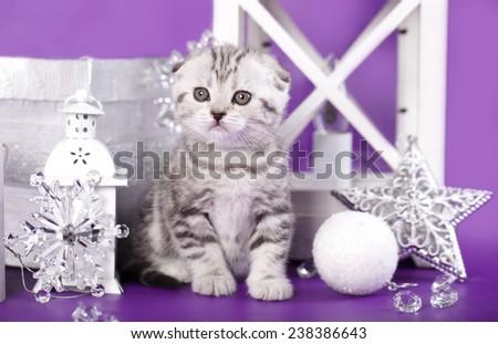 little kitten breed skotishfold on purple background - stock photo