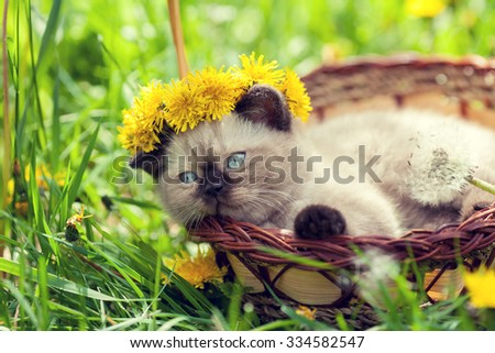 little kitten crowned chaplet from the dandelion flowers lying in a basket - stock photo