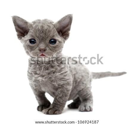 Little kitten Devon Rex - stock photo