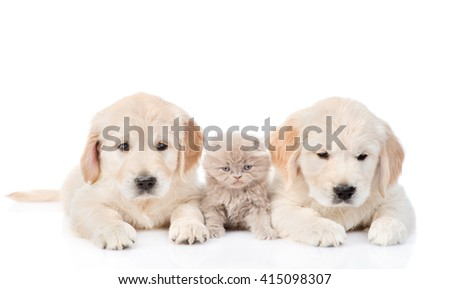little kitten lies between two golden retriever puppies. isolated on white background - stock photo