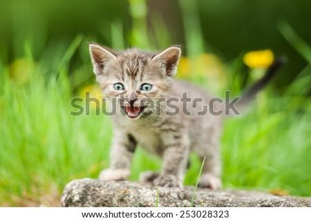 Little kitten meowing outdoors - stock photo