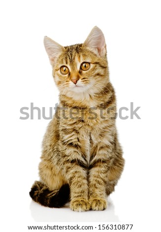 little kitten sitting in front. isolated on white background - stock photo