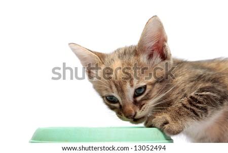 little kitten staring while having foods - stock photo