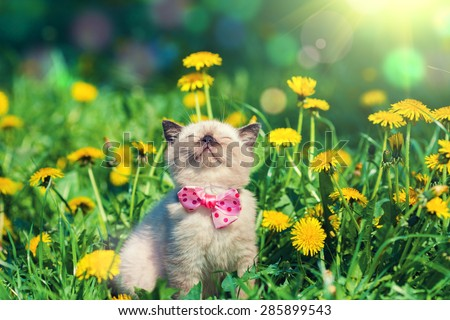 little kitten wearing bow tie in the dandelion flowers - stock photo