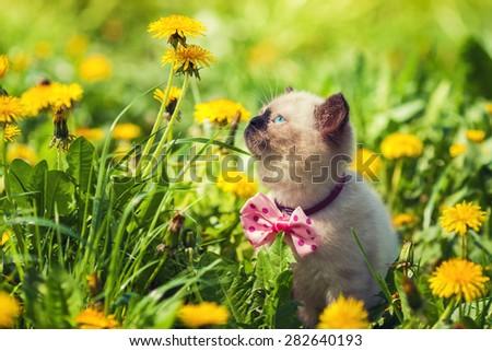 Little kitten wearing bow tie walking in the dandelion lawn - stock photo