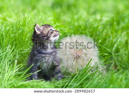 Little kitten with big dandelion with seeds - stock photo