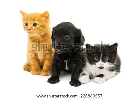 little kittens and spaniel puppy on white background - stock photo