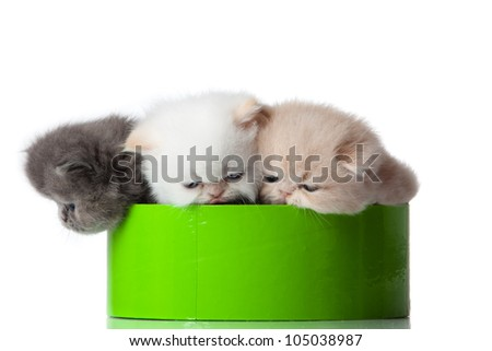 little kittens on white background. persian kitten - stock photo