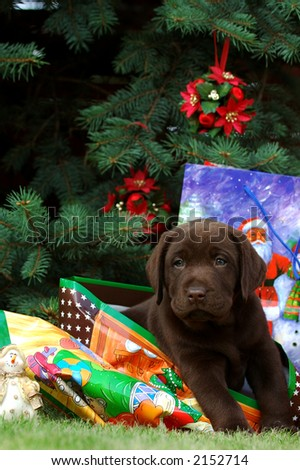 Little labrador retriever at Christmas - stock photo