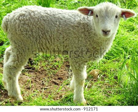 Little Lamb Alone - stock photo
