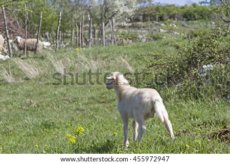Little lamb looking for his ewe - stock photo