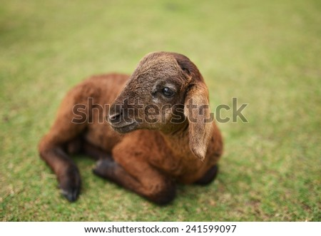 little lamb sitting on grass - stock photo