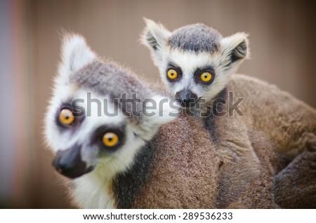 little lemur sits on mother - stock photo