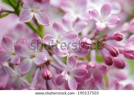 Little lilac blossoms blooming in springtime - stock photo
