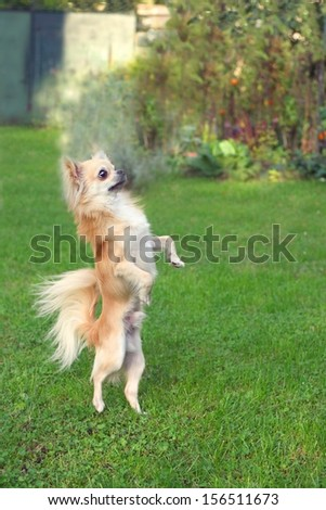 Little longhair chihuahua standing on hind legs, begging - stock photo
