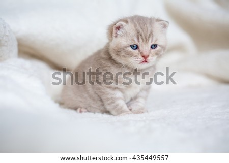 Little lop-eared kitten with blue eyes on a fur mat - stock photo