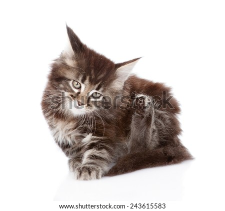 little maine coon cat scratching isolated on white background - stock photo