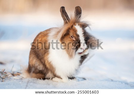 Little miniature rabbit washing the paws in winter - stock photo