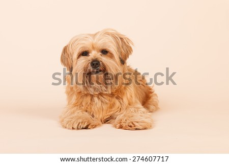 Little mixed breed dog with long hair on beige background - stock photo