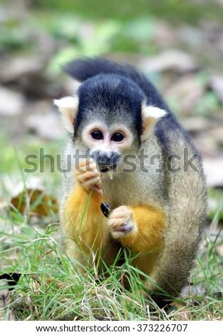 little monkey ; year of the monkey 2016  - stock photo