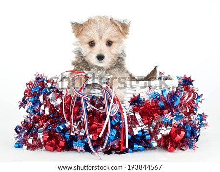 Little Morkie puppy sitting in a basket with red, white and blue stars and stripes all around him. - stock photo