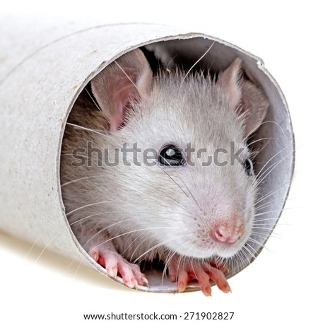 little mouse  playing - hiding in a paper roll - stock photo