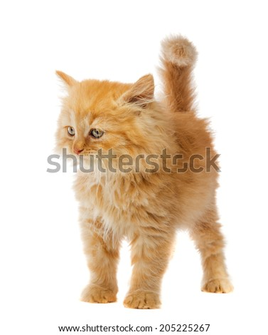 little orange cat on a white background - stock photo