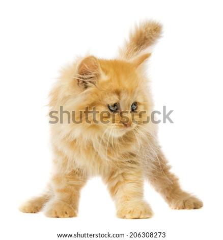 little orange cat on a white background - stock photo