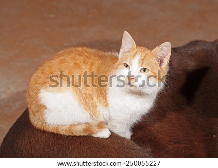 Little orange cat with a brown labrador - stock photo