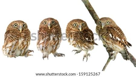 Little Owl  - stock photo