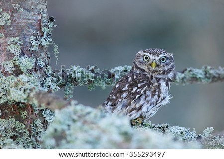 Little Owl, Athene noctua, in the autumn larch forest in central Europe, portrait of small bird in the nature habitat, Czech Republic - stock photo