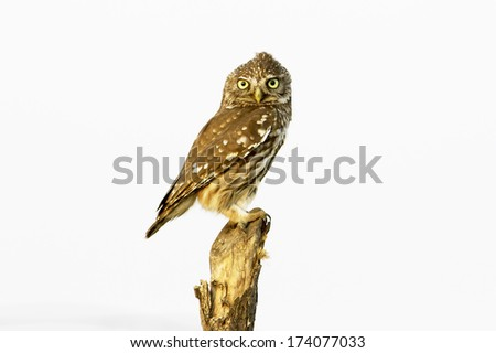 Little Owl (Athene noctua) looks out  - stock photo