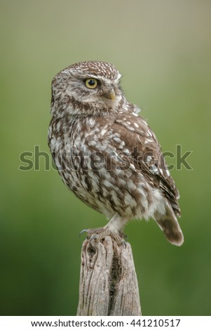Little owl close up, sitting on an old fence post - stock photo