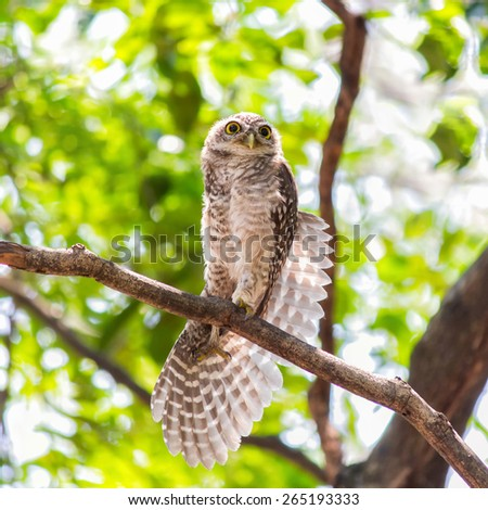 Little Owl expands on branches tree. - stock photo