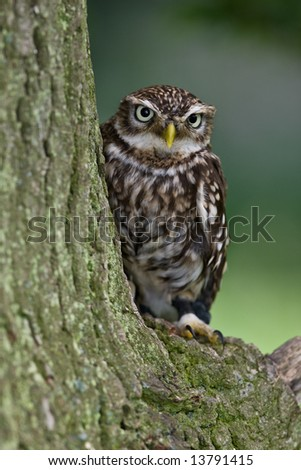 Little Owl in a tree - stock photo
