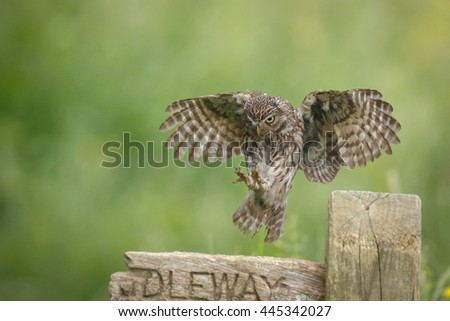 Little owl landing on a sign post in England - stock photo