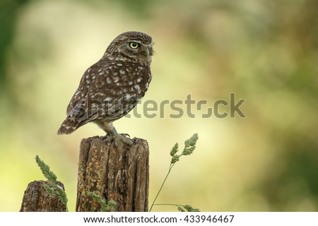 Little owl on a old fence  - stock photo